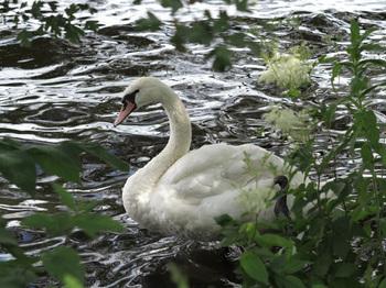 ハンブルグの白鳥IMG_6933web.jpg